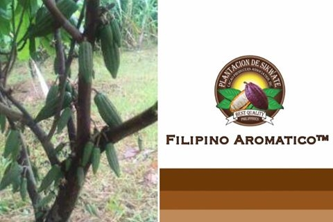 High Yielding Heirloom Cacao at 14 months