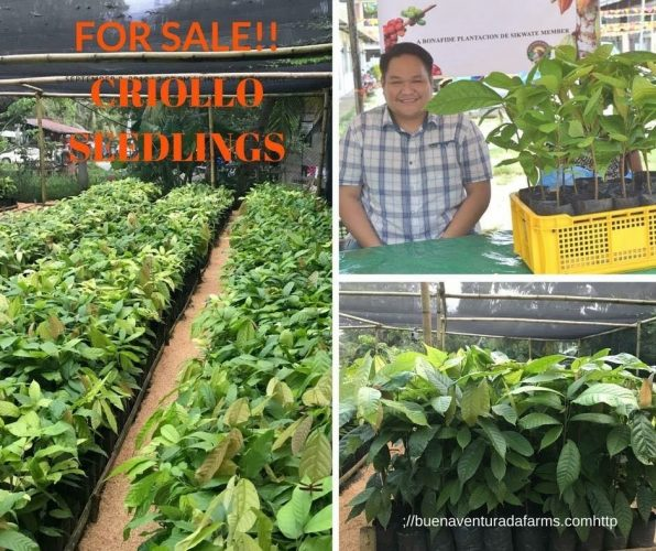 Grafted Seedlings from Bohol